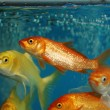 Koi fishes or golden fish — Stock Photo