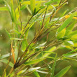 Stock Photo: Verdure flourish bamboo foliage