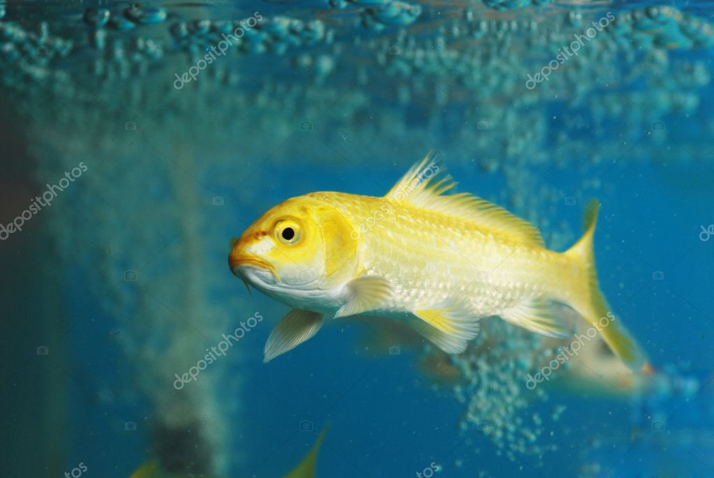 A koi carp fish swim in aquarium stock photo donkeyru for Carp in a fish tank