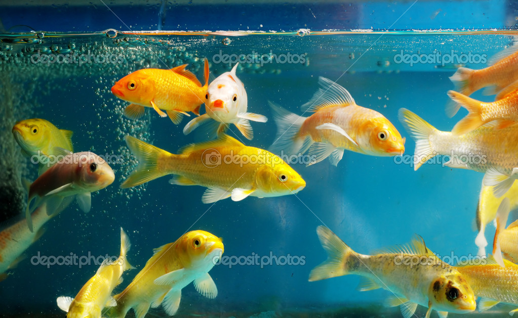 The aquarium stock photo donkeyru 2537489 for Koi fish aquarium