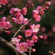 Pink Plum blossom on twigs — Stock Photo
