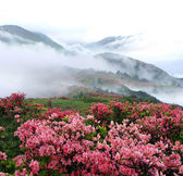 Spring misty mountain peach flowers — Stock fotografie