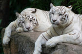 Tiger Pair — Stock Photo