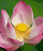 Lotus Blossom — Stock Photo