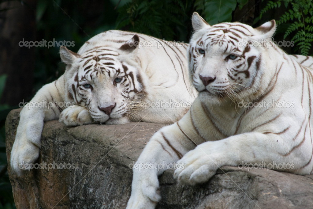 A pair of white tigers enjoying a peaceful day — Stock Photo #2042736