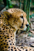 Regarder cheetah — Photo