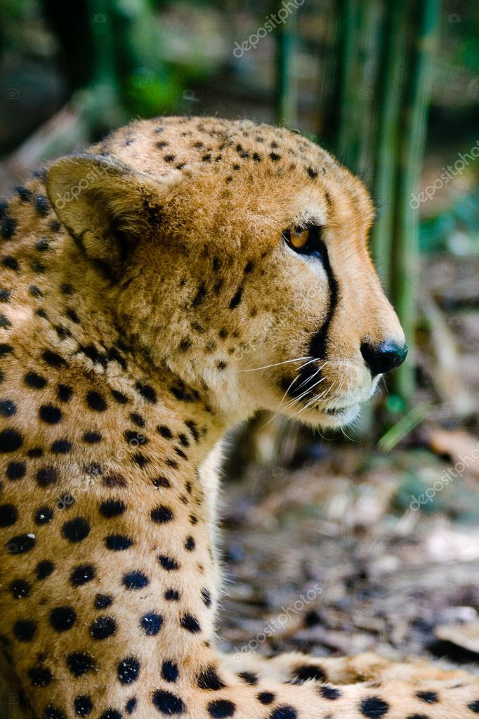 A cheetah contemplating the chase — Stock Photo #2114143