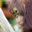 Baby Orangutan — Stock Photo #2171169