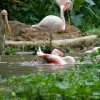 Bathing Flamingo — Stock Photo