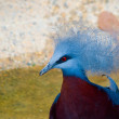 Bathing Crowned Pigeon — Stock Photo