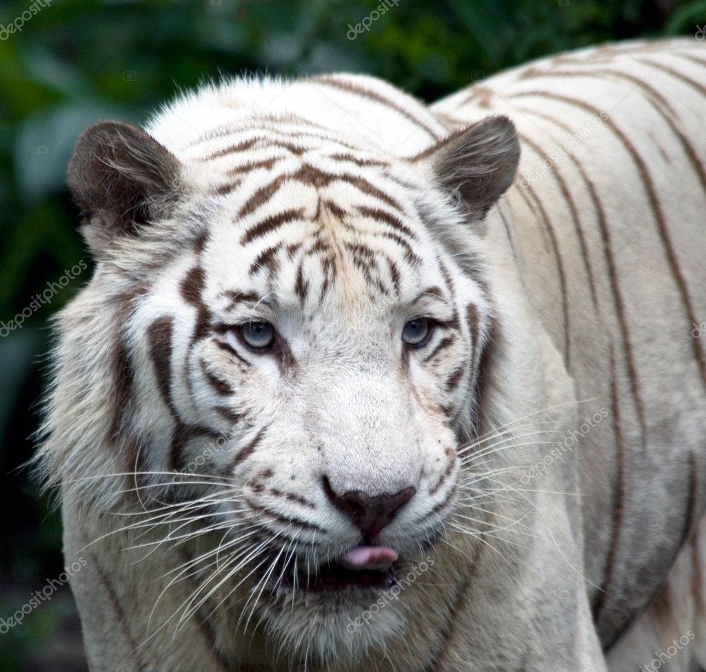 A white tigress licks her lips in anticipation — Foto Stock #2171092