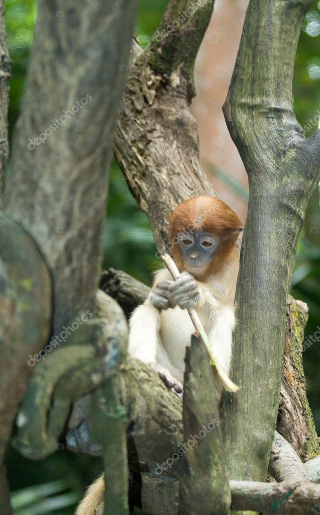 A baby proboscis monkey contemplates possible extinction of her species — Stock Photo #2171230