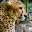 Stock Photo: Staring Cheetah