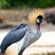Crowned Crane — Stock Photo #2235330