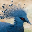 Dark Blue Pigeon — Stock Photo #2235379