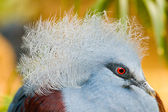 Common Crowned Pigeon — Stock Photo