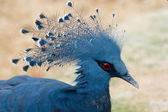 Dark Blue Pigeon — Stock Photo