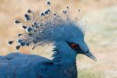 Dark Blue Pigeon — Stock Photo