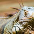 Stock Photo: Basking Iguana