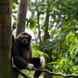 Gibbon — Stock Photo #2307438