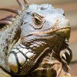 Common Green Iguana — Stock Photo #2307458