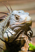 Common Green Iguana — Stock Photo