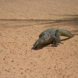 Monitor Lizard — Stock Photo #2525118