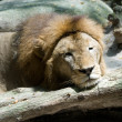 Lazy Lion — Stock Photo #2525159