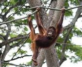 Juvenilní orangutan — Stock fotografie