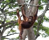 Orangotango juvenil — Foto Stock