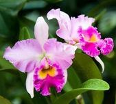 Wild Pink Orchid — Stock Photo