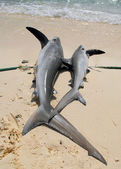 Two dead sharks — Stock Photo