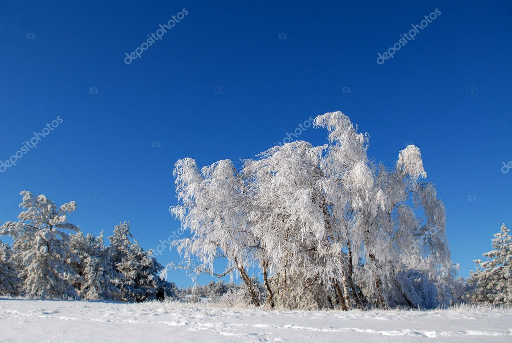 Birches in hoarfrost against the blue sky — Stock Photo #2148196
