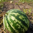 Stock Photo: Ripe water-melons