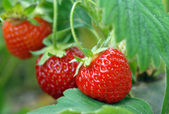Strawberry växer på en säng — Stockfoto