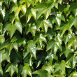 Green leaves of an ivy — Stockfoto