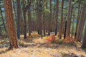 Pine wood on slopes Ah-petri — Stock Photo