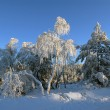 Birches in hoarfrost in winter — Stock Photo #2240017