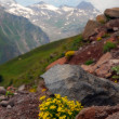 The Alpine flowers in stones — Stockfoto