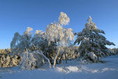 Birches in hoarfrost in the winter — Stock Photo