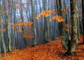 Beechen autumn wood in a blue fog — Stock Photo