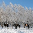 Horses in snow-covered wood — Stock Photo