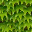 Green leaves of an ivy - Stock fotografie