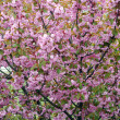 Sakural cherry flowering - Stockfoto