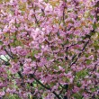 Sakural cherry flowering - Stock Photo