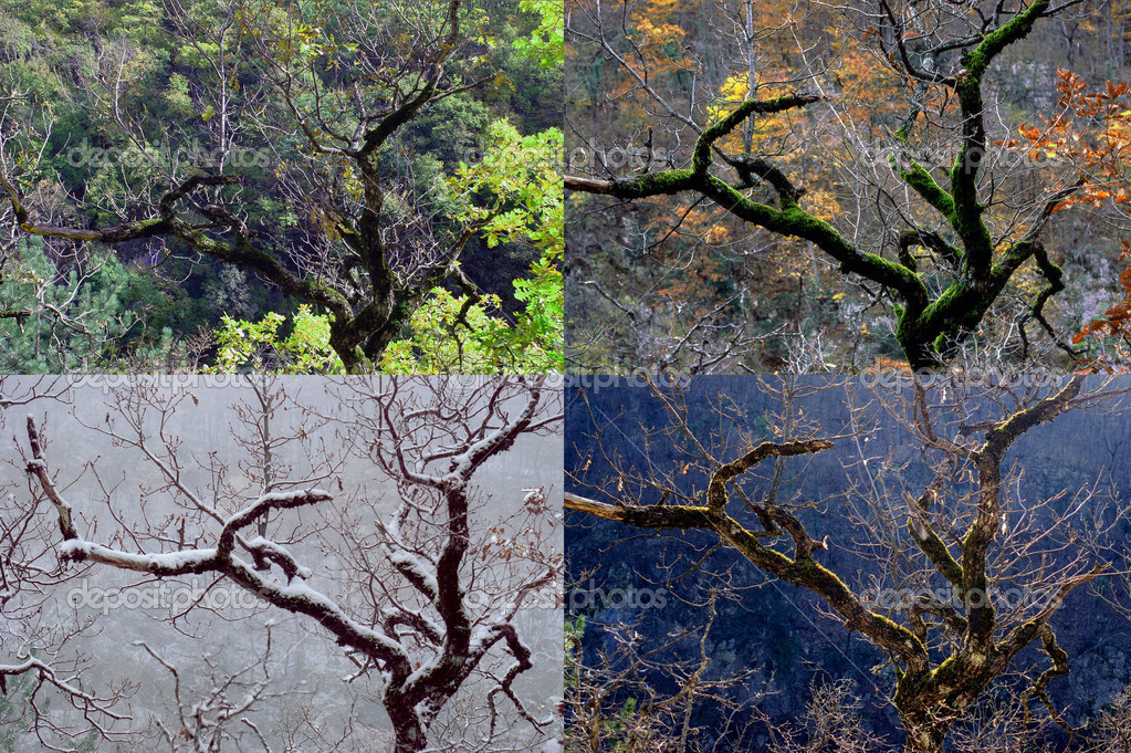 Four seasons, tree a beech and its four seasons — 图库照片 #2403222