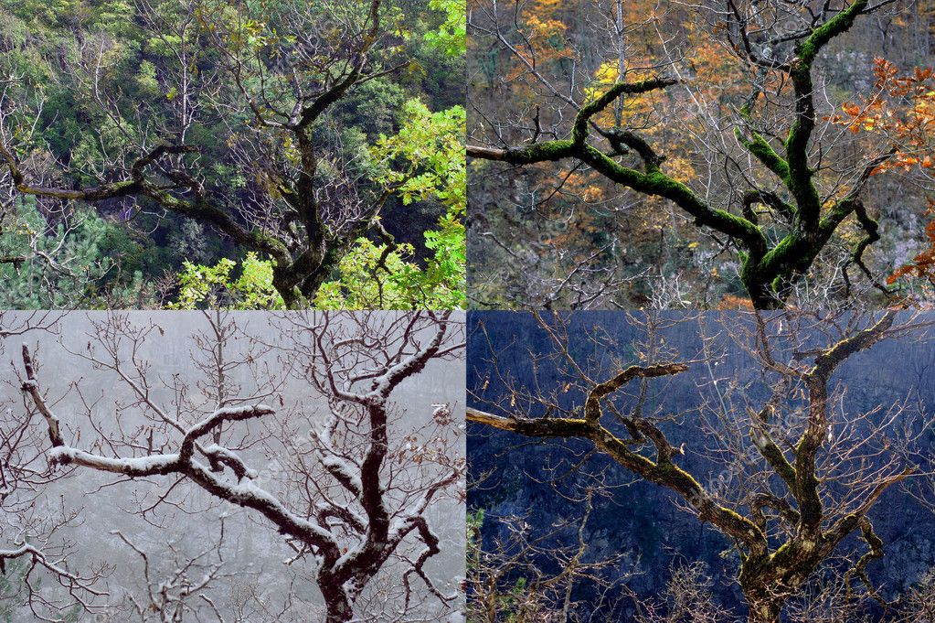 Four seasons, tree a beech and its four seasons — Stok fotoğraf #2403222