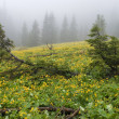 Fur-trees on a bog among yellow flowers — Stockfoto