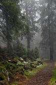 Wood footpath in foggy coniferous wood — Stock Photo