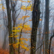 Stock Photo: Yellow leaves on autumn beeches